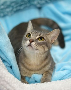 Ash is a super sweet loving nurturing 1 year old SilverBlue Tabby She mothered and saved the lif