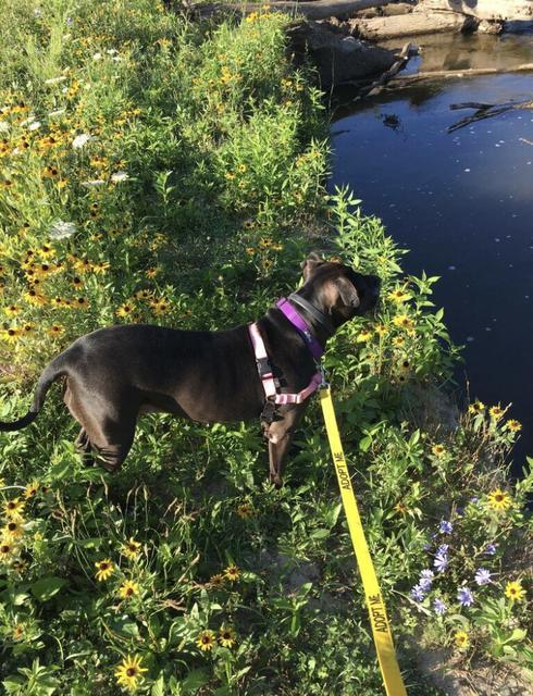 Pippa, an adoptable American Staffordshire Terrier Mix in Utica, MI