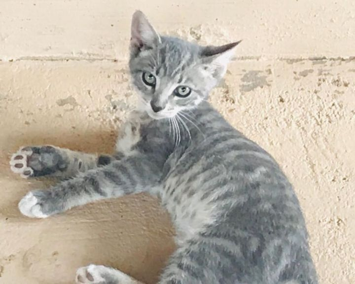 Aaron George, an adoptable Domestic Short Hair Mix in Williamsburg, NM