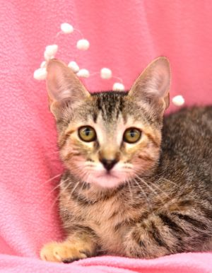 Cindy is a 4 month old Torbie kitten A Torbie is a cross between at Tortoiseshell and a Tabby The