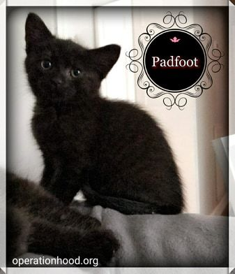 Padfoot, an adopted Domestic Medium Hair in Fredericksburg, VA