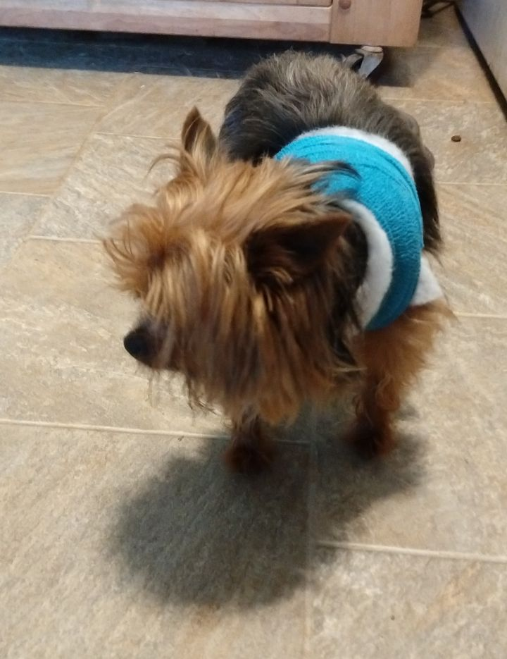 Bentley, an adopted Yorkshire Terrier in Greensboro, GA