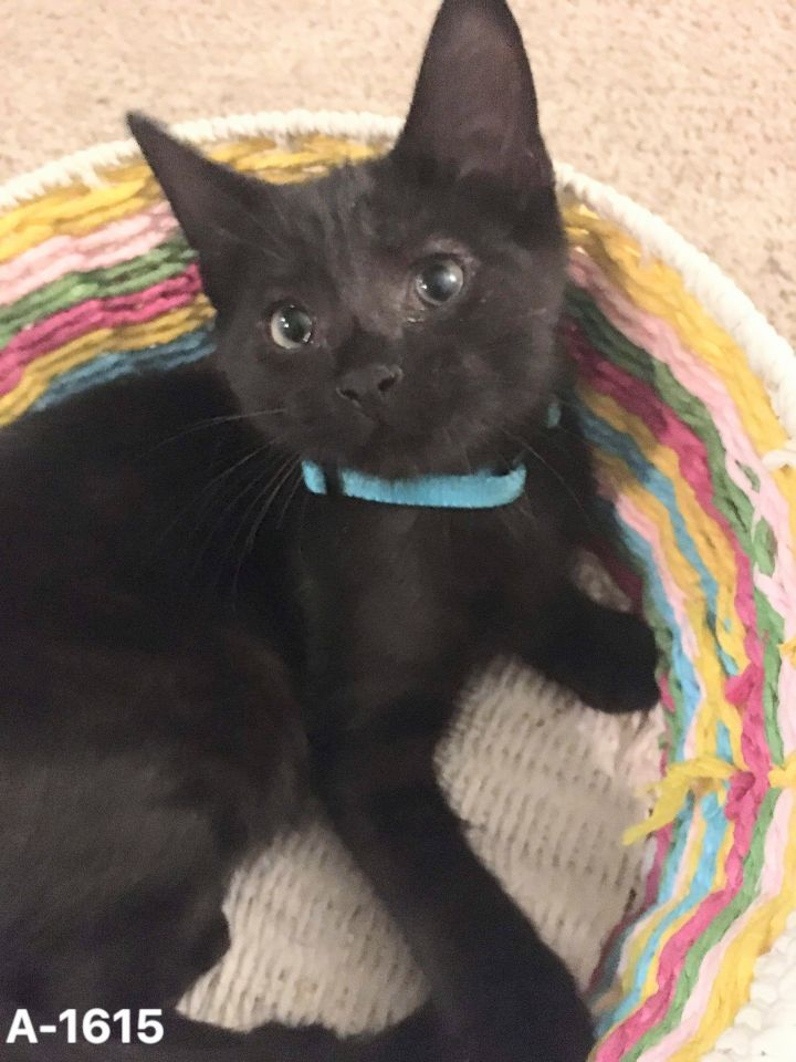 Frog, an adoptable Domestic Short Hair in Eaton Rapids, MI