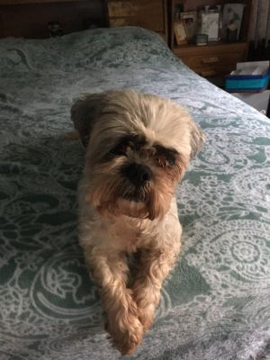 Sweet Sally is a Lhasa Apso mix around 7 years old She is very friendly and gets along well with