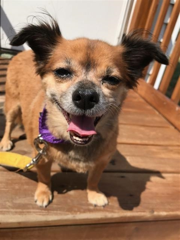Teddy, an adoptable Chihuahua & Pomeranian Mix in Oakland, NJ