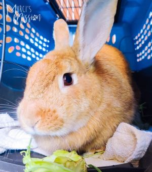 Samoa is a sweet young female rabbit who enjoys fresh greens and veggies She likes to be petted and