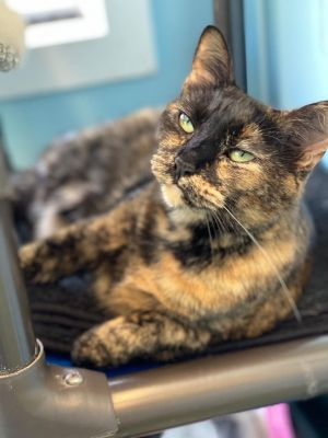 Tumeric is a beautiful two year old tortie with green eyes who is a chunky sweetheart She loves to