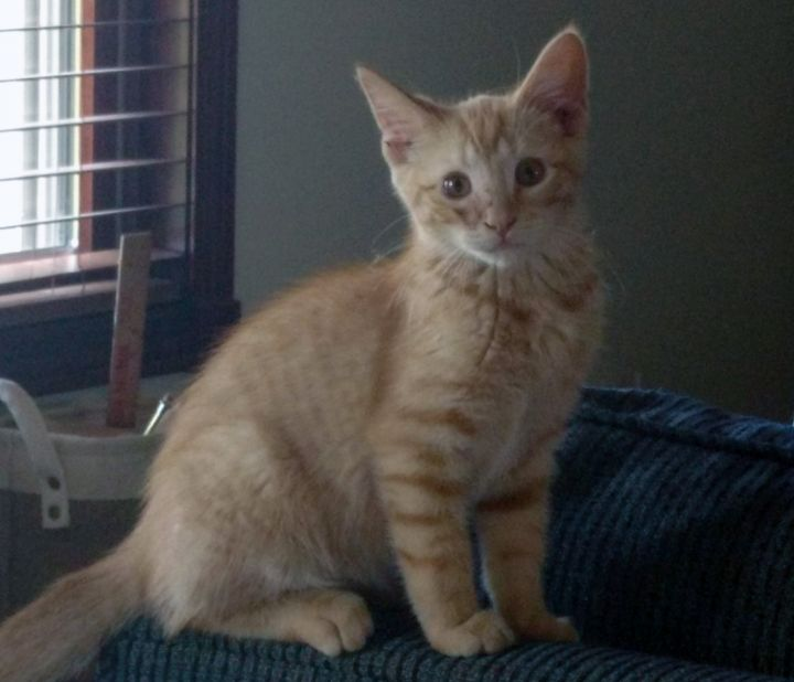 Barney, an adoptable Tabby in Pierre, SD