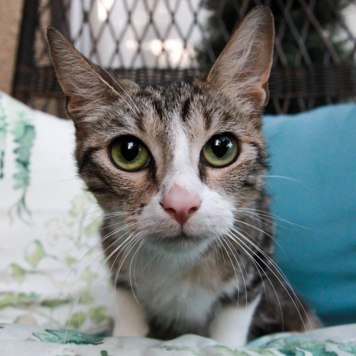 Mama Rose, an adopted Domestic Short Hair & Tabby Mix in Mission Viejo, CA