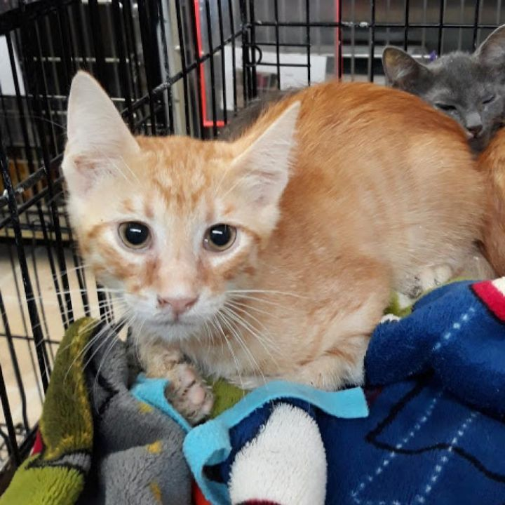 GREG, an adopted Domestic Short Hair in Cape Girardeau, MO