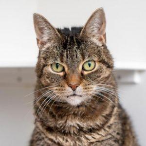 Freesia Domestic Short Hair Cat