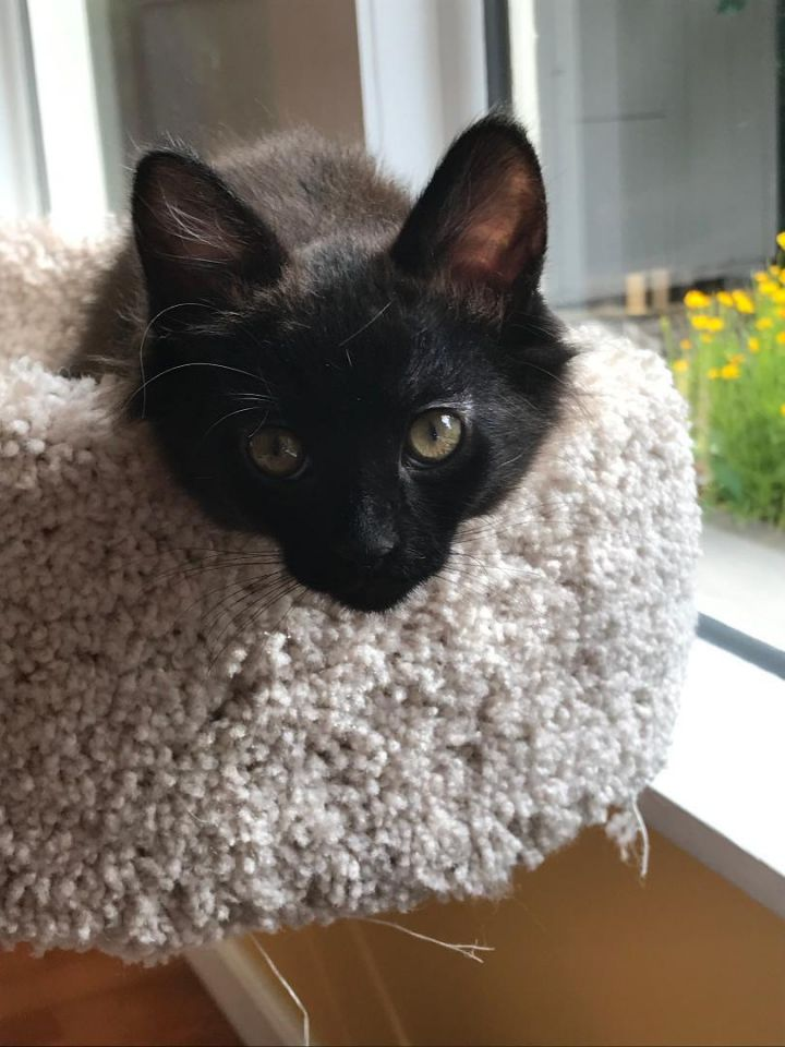 Puck, an adoptable Domestic Short Hair in Manhattan, KS