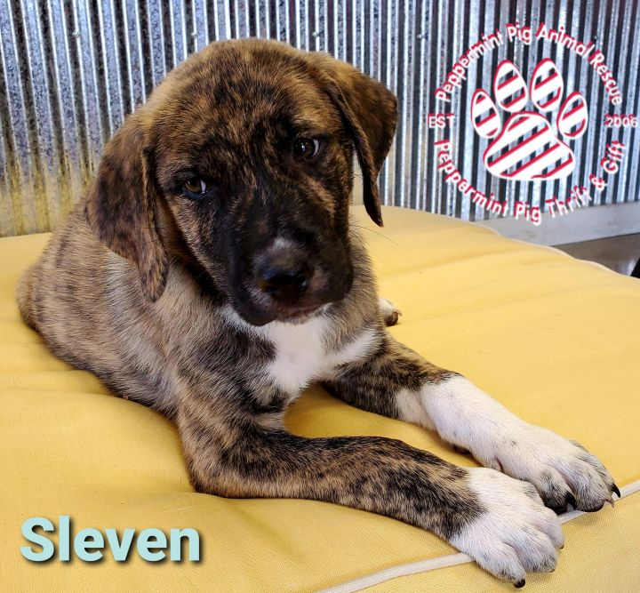 Sleven ADOPTION PENDING 4