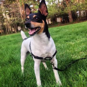 Mario is an 8 year old Toy Fox Terrier weighs about 11 pounds and is current on his vaccines and