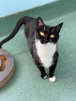 Oh Katie O What a unique girl you are She is a one year old tuxedo with a quirky personality