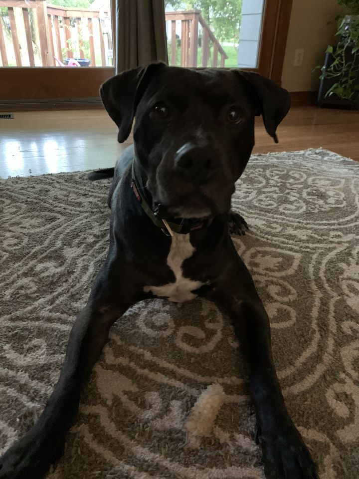 Ranger, an adopted Labrador Retriever & Pit Bull Terrier Mix in Manhattan, KS