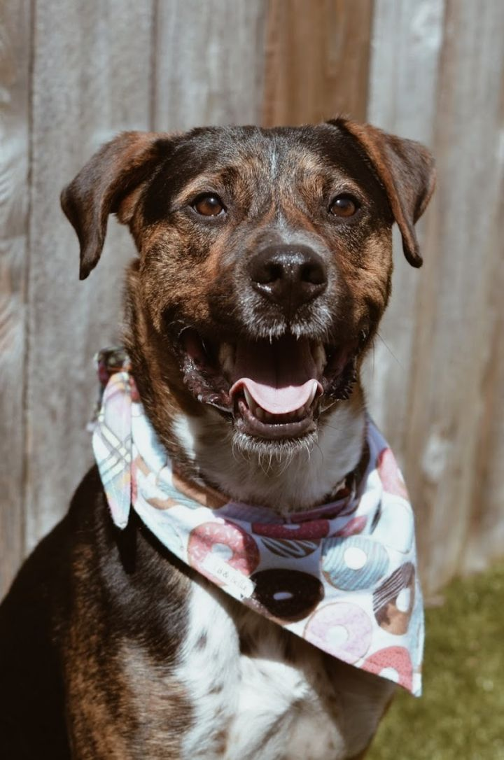 Turner, an adoptable Mountain Cur Mix in Springfield, MO