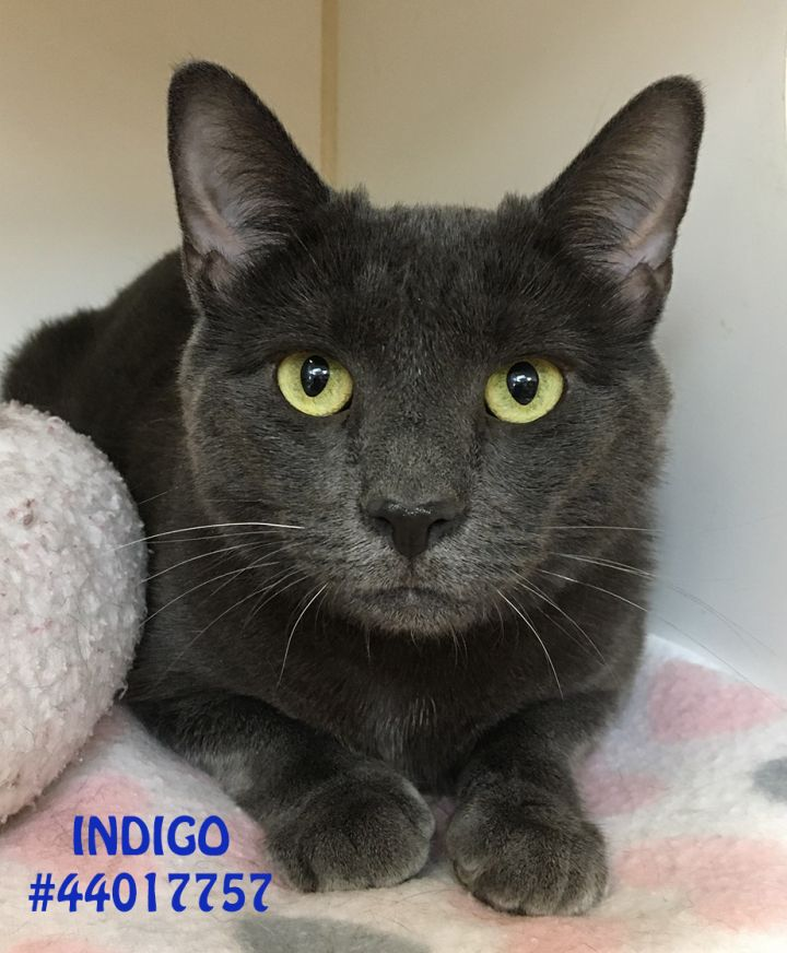 Indigo, an adopted Domestic Short Hair in Wilkes Barre, PA