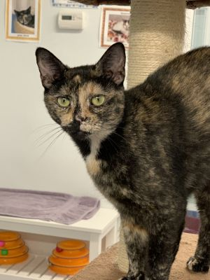 This beautiful Tortie would make a wonderful companion Calista is sweet and calm with just the righ