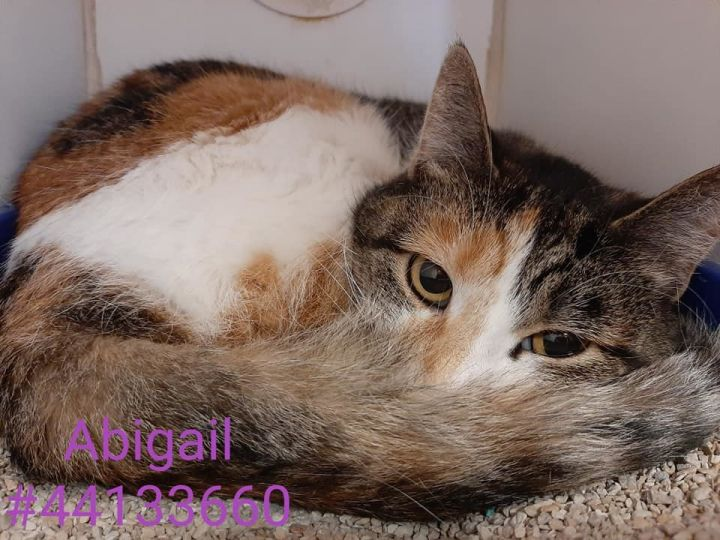 Abigail, an adoptable Torbie & Domestic Medium Hair Mix in Wilkes Barre, PA