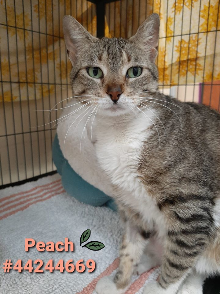 Peach, an adoptable Domestic Short Hair in Wilkes Barre, PA