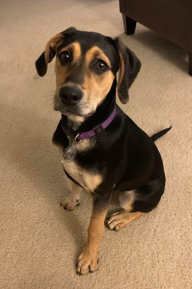 Stitch, an adoptable Coonhound Mix in Millersville, MD