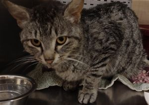 Primary Color Grey Tabby Weight 61875lbs Animal has been Neutered