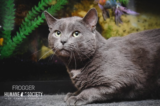 Frogger, an adoptable Domestic Short Hair in Johnstown, PA