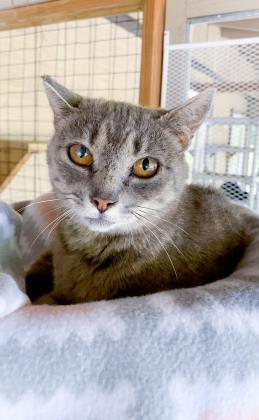 Summer, an adoptable Domestic Short Hair in Bloomsburg, PA