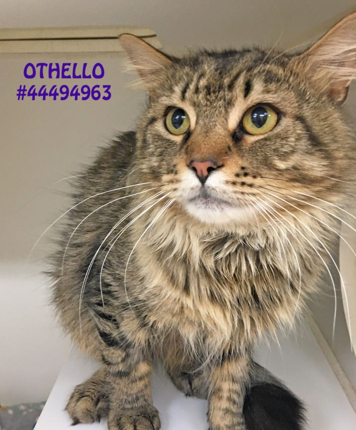 Othello, an adopted Tabby in Wilkes Barre, PA