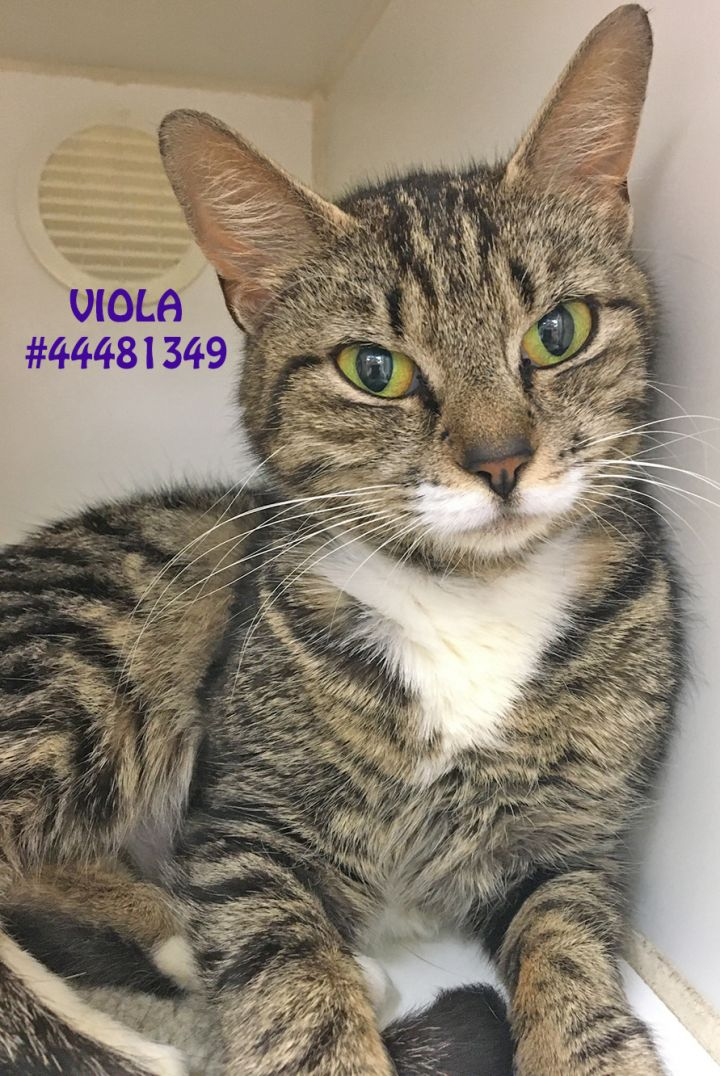 Viola, an adoptable Tabby in Wilkes Barre, PA