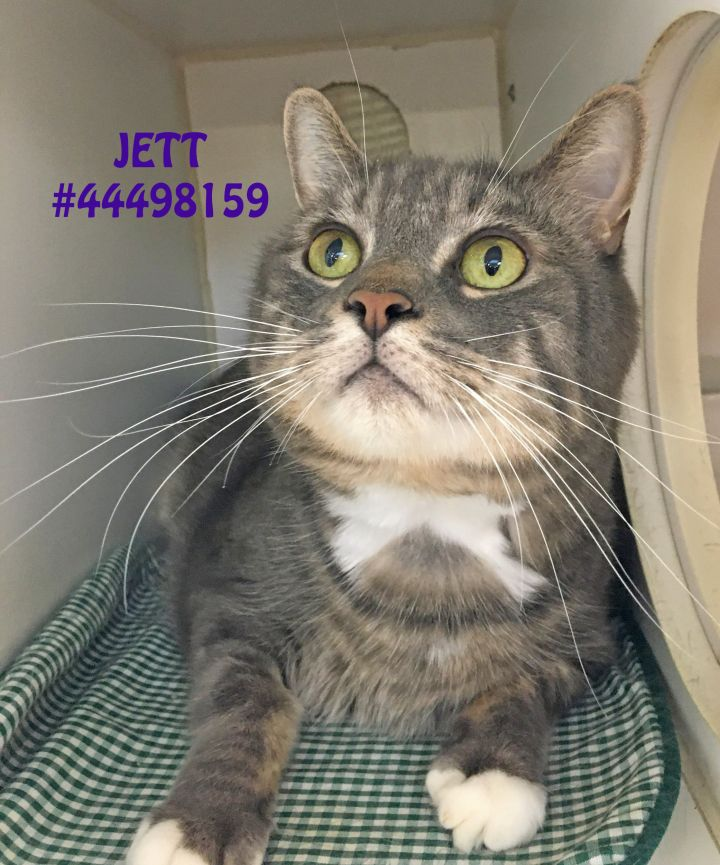 Jett, an adopted Dilute Calico in Wilkes Barre, PA