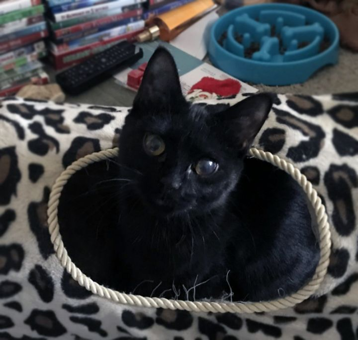"Black Tea ""bonded with Honey"", an adoptable Domestic Short Hair in Centerville, UT"