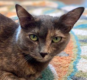 Graycie - Foster Home Dilute Tortoiseshell Cat