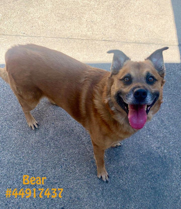 Bear, an adopted German Shepherd Dog Mix in Wilkes Barre, PA