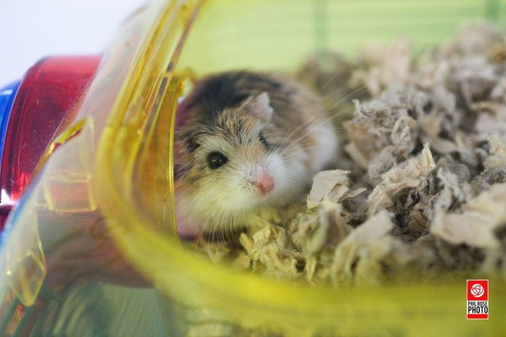 Pipp, an adopted Hamster in Bellingham, WA
