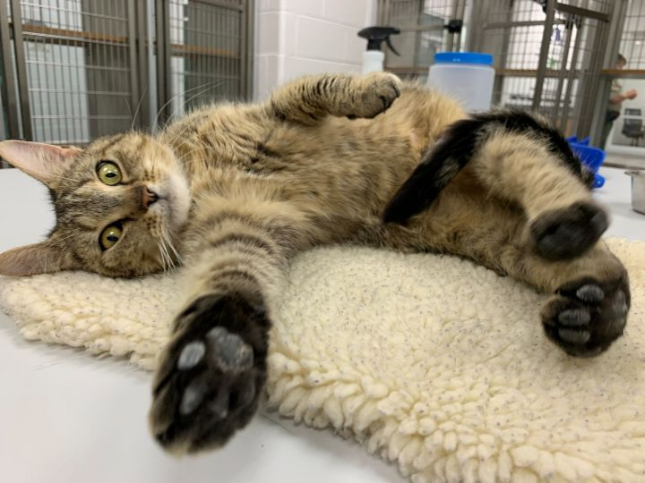 7150, an adopted Domestic Short Hair in Maidens, VA