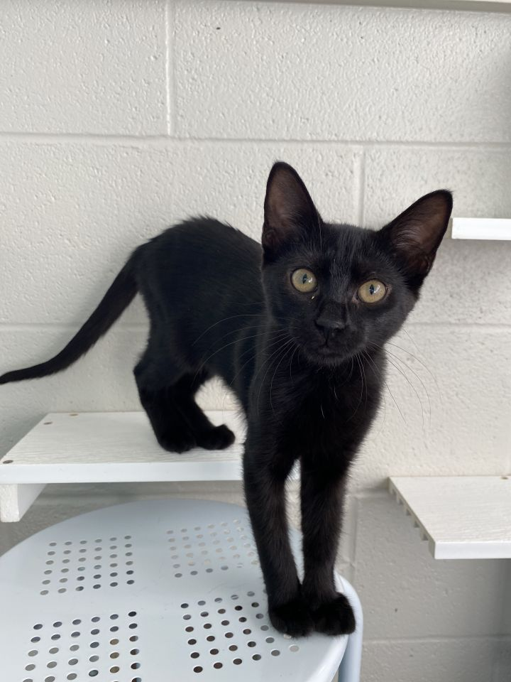Franny, an adoptable Domestic Short Hair Mix in Carencro, LA