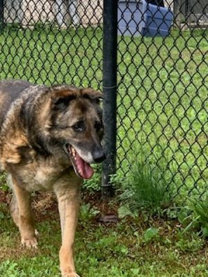 Teddy is an 11 year old German Shepherd who was found as a stray His owners were found but could