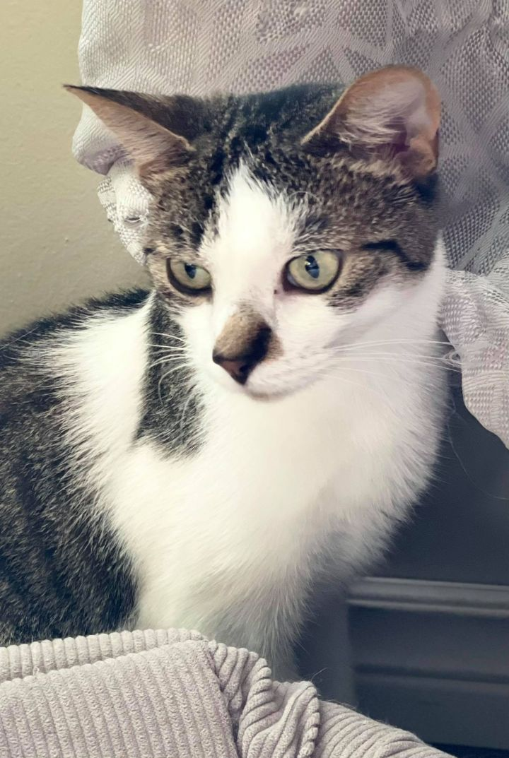 Paddy, an adoptable Domestic Short Hair in Chatham, ON