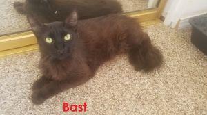 Bast Domestic Long Hair Cat