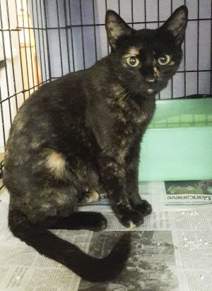 Midnight is a one-year old very friendly low-key Tortie She is definitely a people- cat and love
