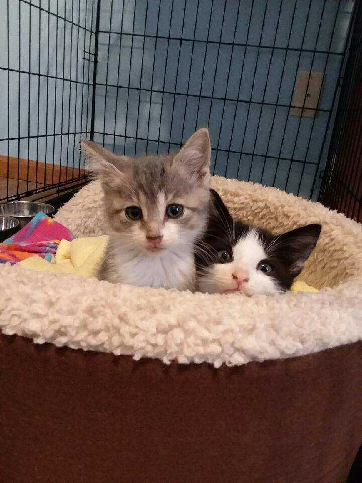 Eleanor and Theodore, an adopted Domestic Short Hair Mix in Springfield, MO
