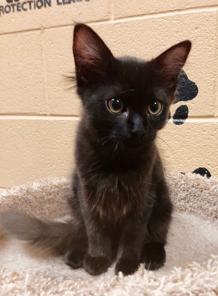 Naples, an adopted Domestic Medium Hair in Smithfield, NC