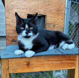 Meet Tux Hes a handsome 3 year old male cat decked out in his tuxedo and waiting for you to