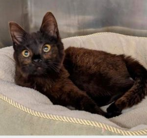 This fancy girl is Rustina She is a stunning 5 month old kitten who is black with a touch of