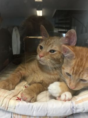 This adorable duo is Ben and Jerry They are 12 week old orange Tabby kittens that came to us on