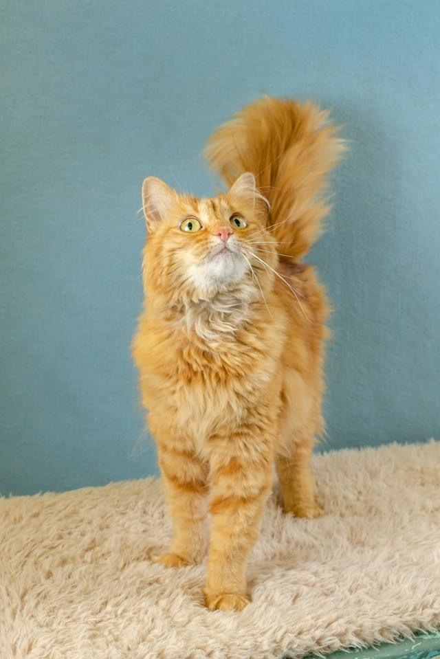Fiona, an adoptable Domestic Long Hair in Vernal, UT