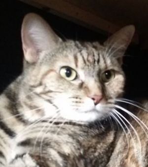 KITTY is a female TabbyCalico and is 6 years old She is spayed and healthy she is little shy at
