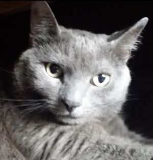 Ninni is a beautiful male Russian Blue and is about 6 years years old He was found by a teacher